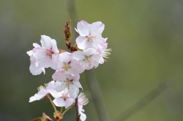 十勝の桜・・・