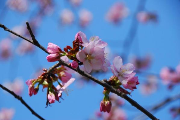 帯広の桜2014.04.28