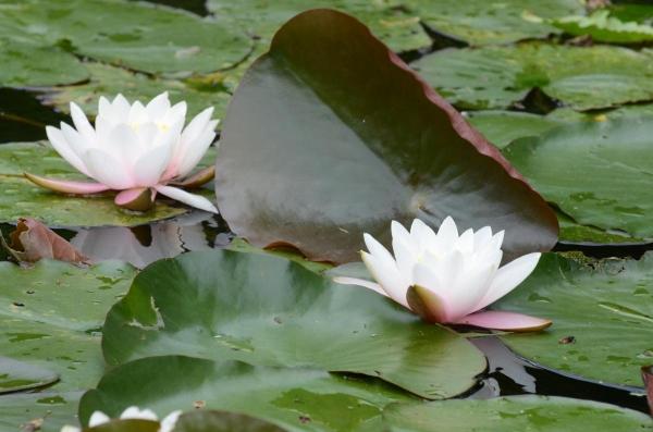 釧路町の蓮の花・・・