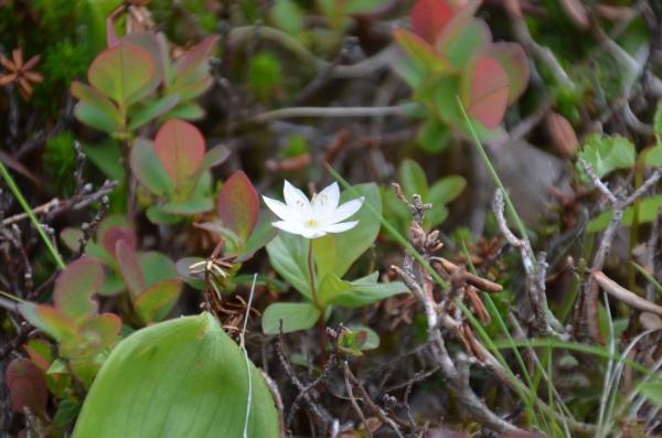 西別岳の花✿
