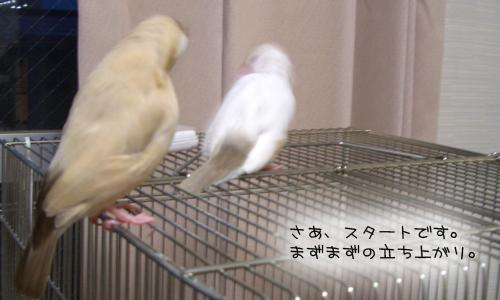 文鳥シンクロダンス選手権_2