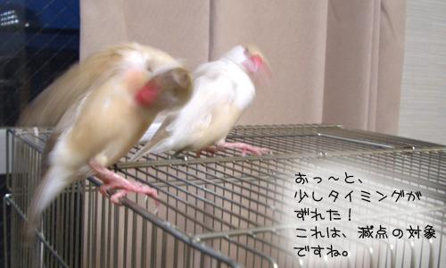 文鳥シンクロダンス選手権_3
