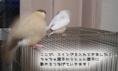 文鳥シンクロダンス選手権_5