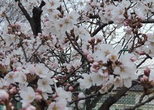2014329桜blog01