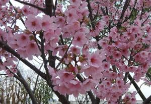 2014329桜blog02