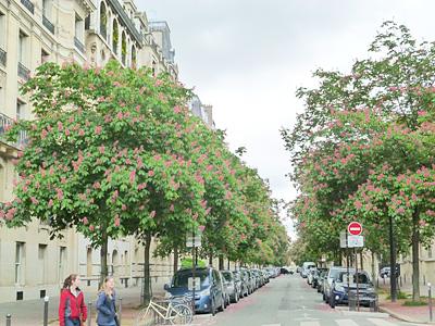 パリの街路樹・マロニエの花