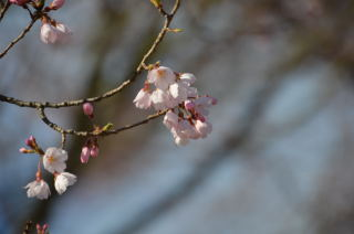 咲きかけ0