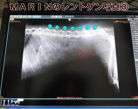 20140315 MARINのレントゲン写真③