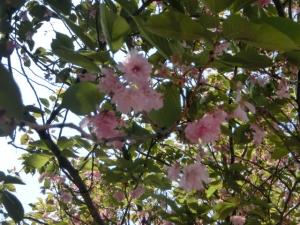 桜も残る札幌。