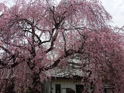 しだれ桜1