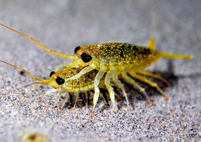 你儂我儂中的海蟑螂