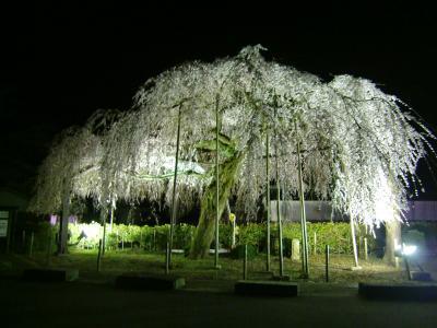 しだれ桜2014