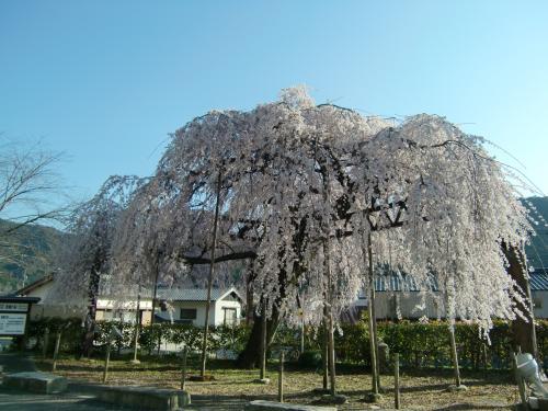 しだれ桜 昼1
