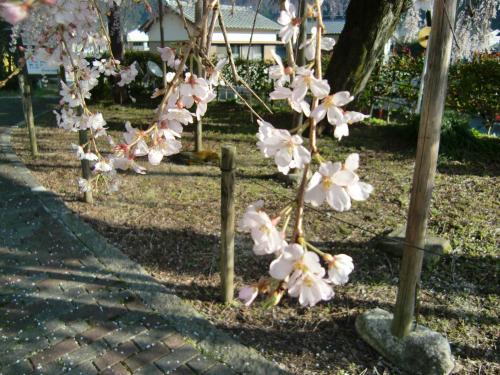 しだれ桜 昼2