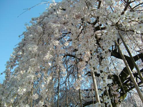 しだれ桜 昼3