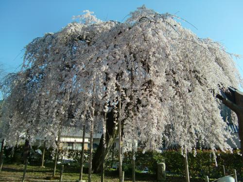 しだれ桜 昼4