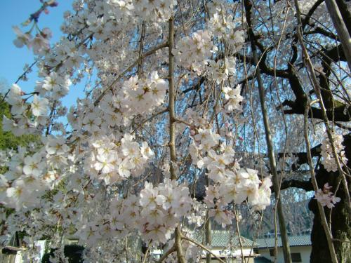 しだれ桜 昼5