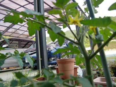 プチトマト花