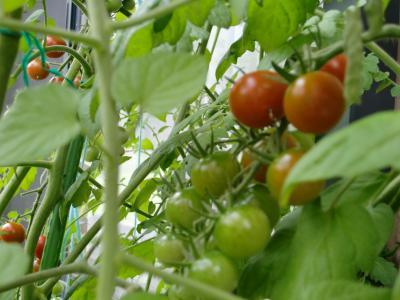 プチトマト豊作1