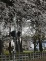 八高線沿いの桜