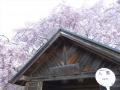 人里の桜 (1)
