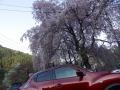 人里の桜 (2)