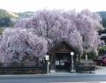 人里の桜 (3)