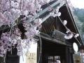 人里の桜 (5)