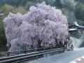 人里の桜 (4)