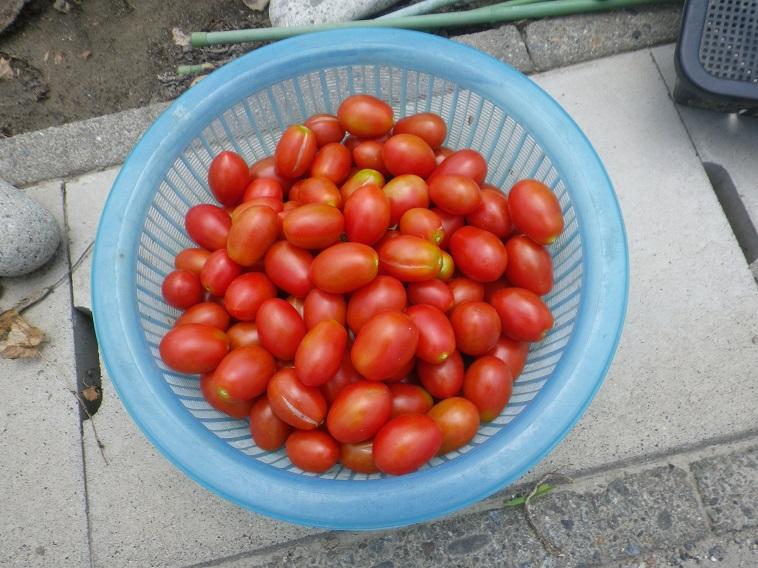 トマト収穫14_07_21