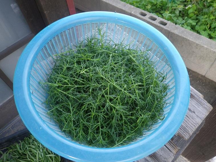 収穫オカヒジキ14_07_21