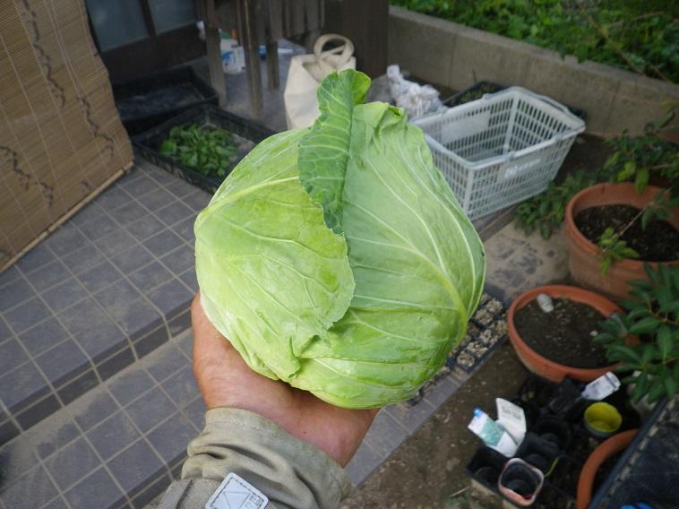 収穫キャベツ14_07_21