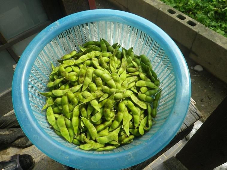 収穫枝豆14_07_21