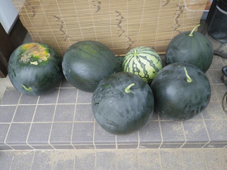 スイカの収穫14_07_27