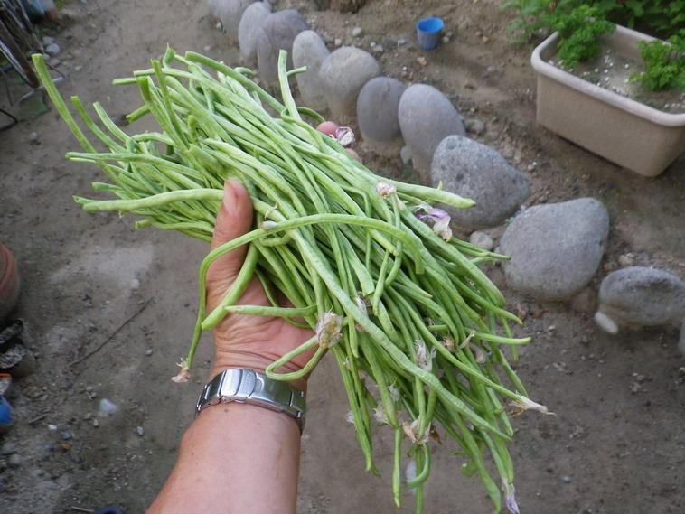 三尺ささげ収穫14_07_29