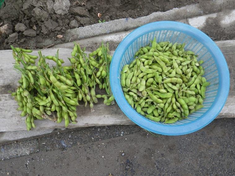 収穫枝豆14_08_03