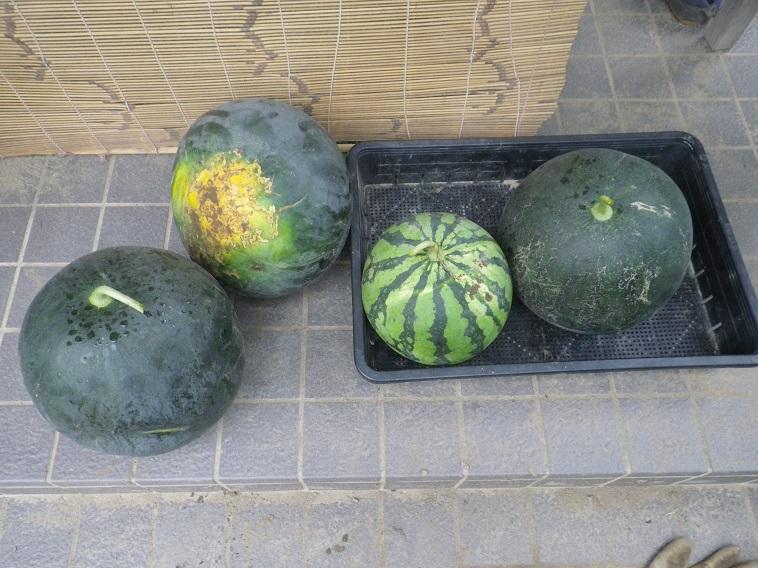 収穫スイカ14_08_03