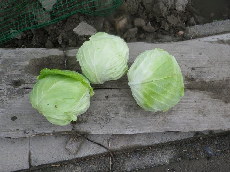 キャベツ収穫14_08_03