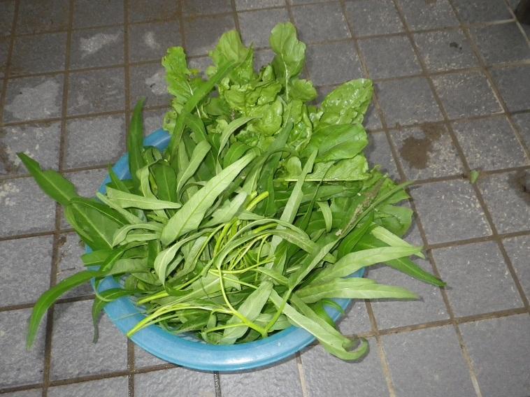 収穫菜っ葉14_08_10