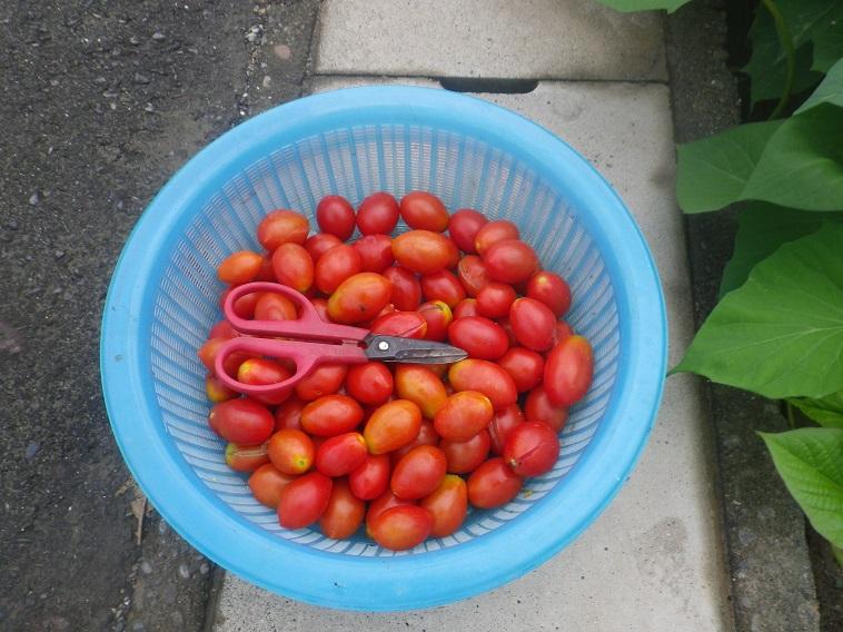 トマト収穫14_08_16