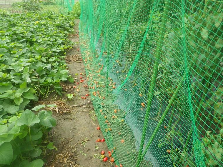 トマト落下14_08_16