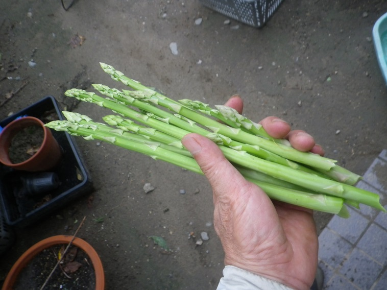 収穫アスパラ14_08_16
