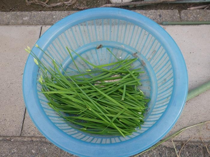 ニラ収穫14_08_30