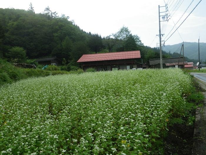 そばの花14_09_05