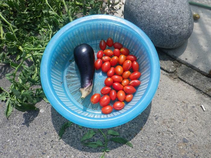 トマト収穫14_09_06