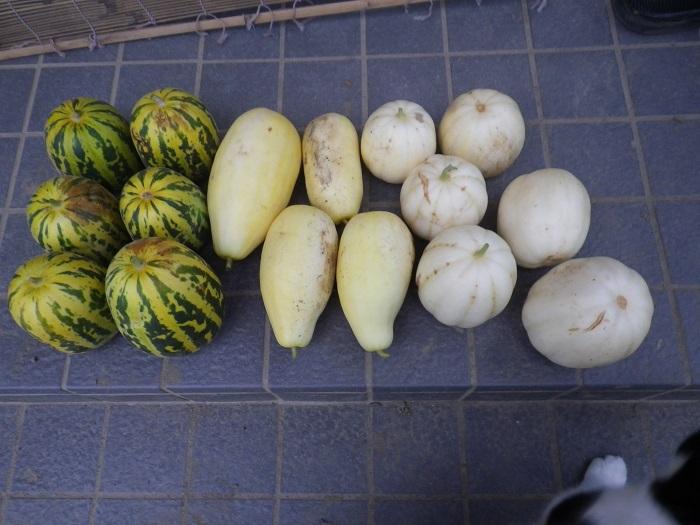 収穫マクワウリ14_09_06