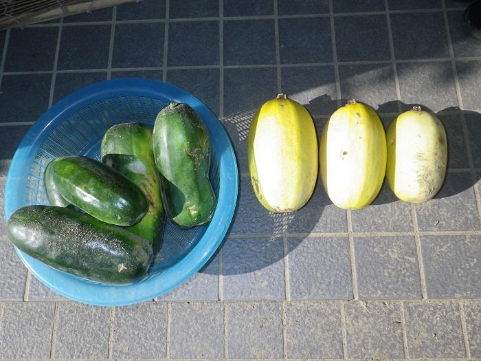 収穫ウリ14_09_07