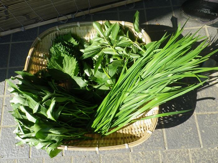 収穫葉物14_09_07