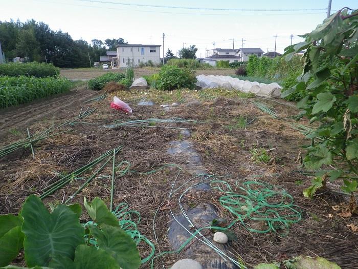 スイカ畑2_14_09_13