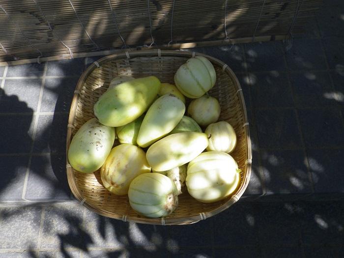 マクワウリ収穫14_09_13